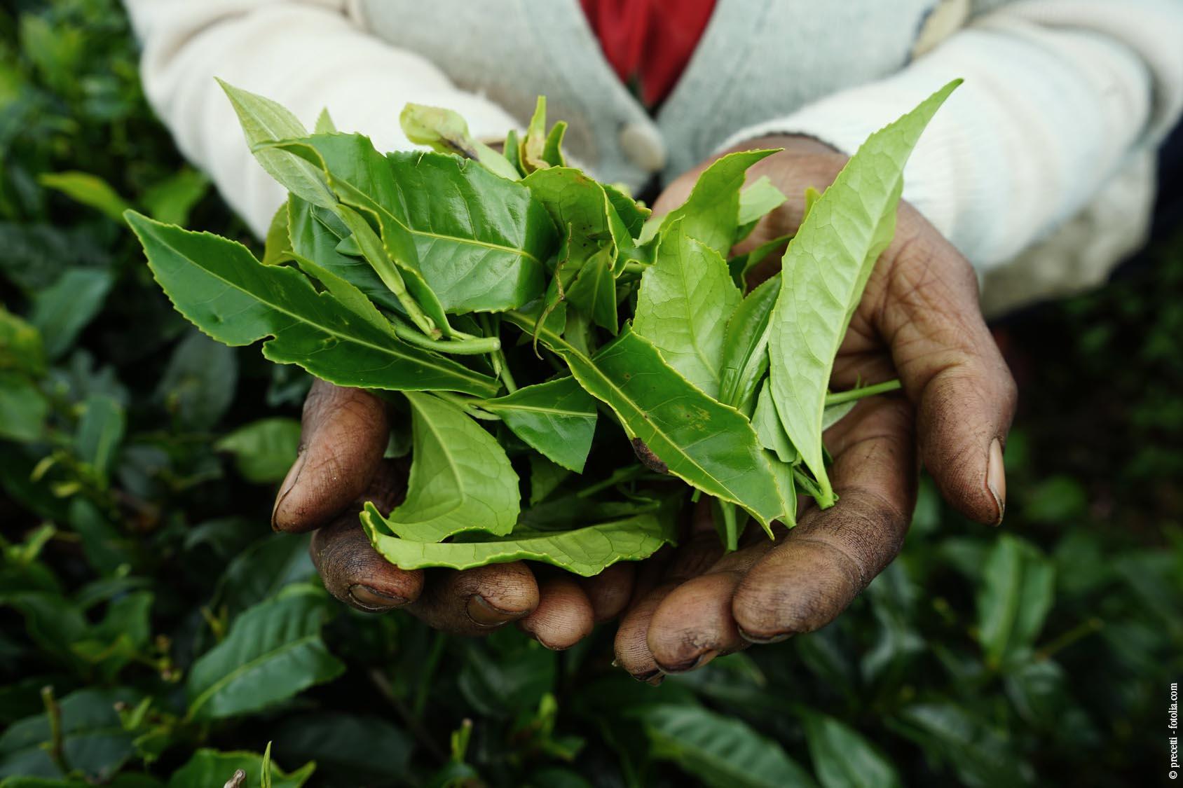 Darjeeling Tee Querkochen