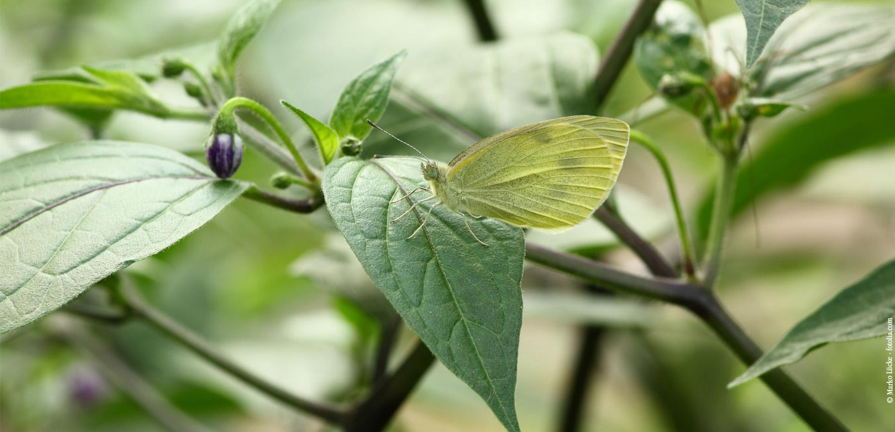 Capsicum pubescens Chili Querkochen