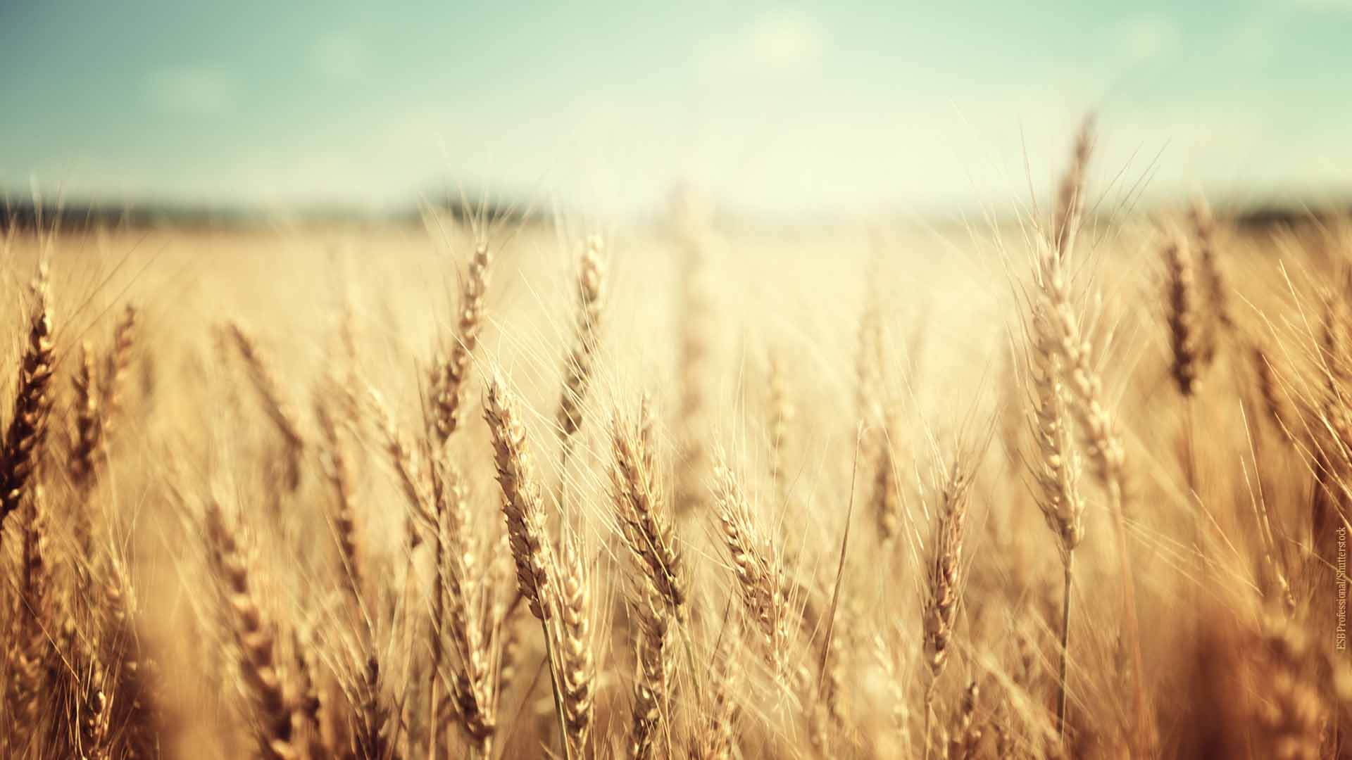 Weizen - Kamut, Emmer, Einkorn Querkochen