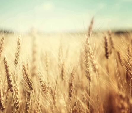 Weizen - Von Kamut, Emmer & Einkorn - Bild
