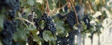 Weingut Buchart: Sturm in allen Sorten und Farben - Bild