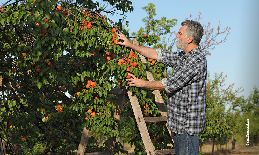Marillen-Aprikosen-Baum - Querkochen