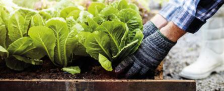 Gemüse ernten, aber richtig! - Bild