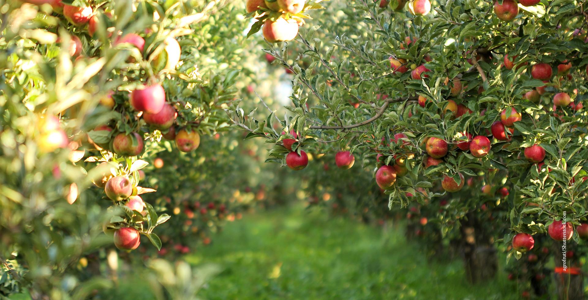 Apfel_Apfelbäume_Querkochen