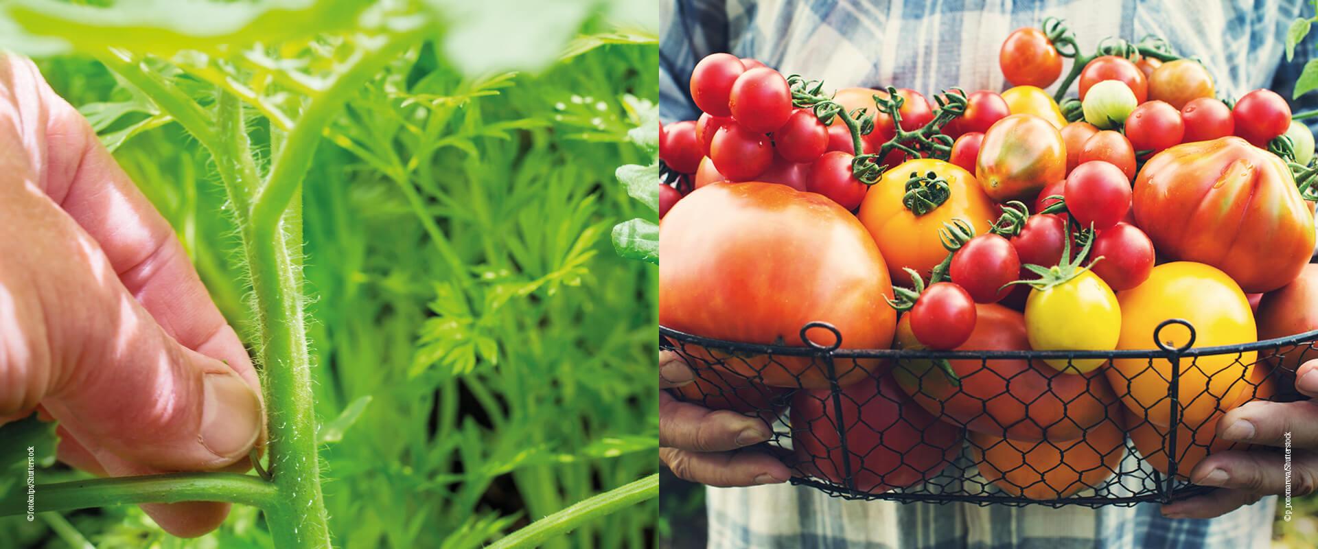 Richtig_ernten_Tomaten